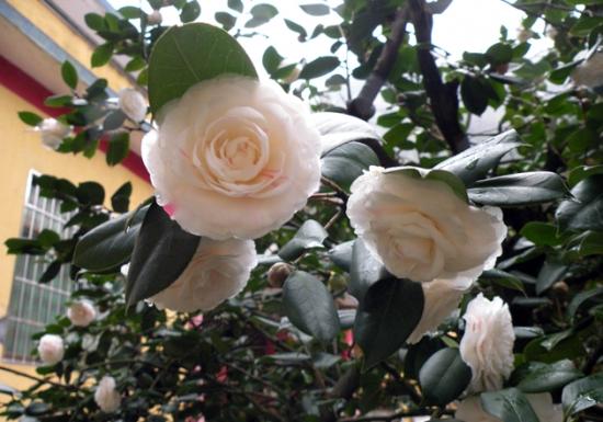 湖南茶花树