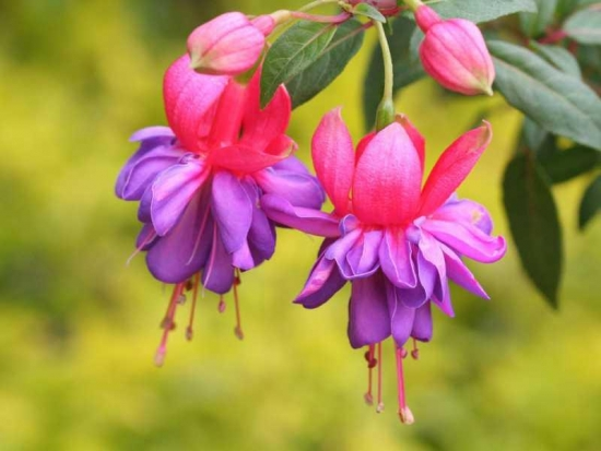 灯笼花的养殖方法和注意事项:日照不足开花减少