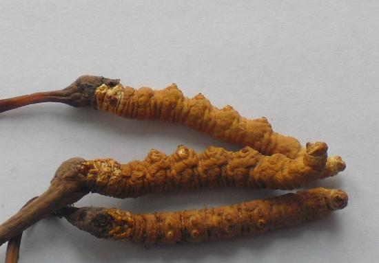 三条好看的冬虫草