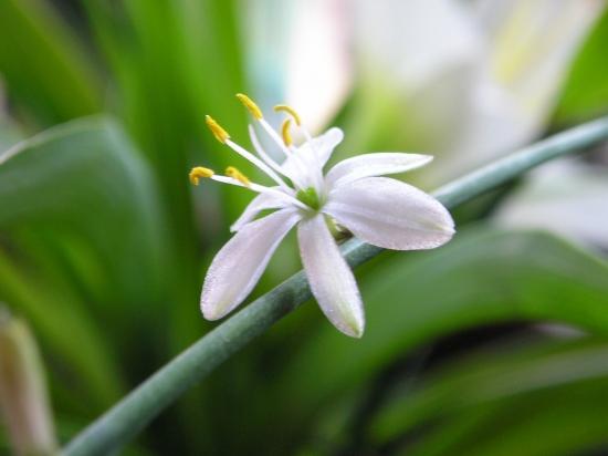 吊兰花的养殖方法和注意事项:过干燥叶片会枯焦