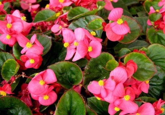 美丽的四季海棠花