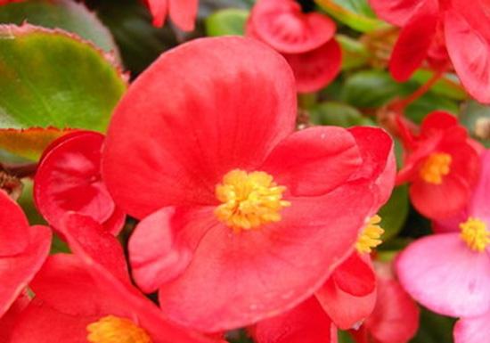 四季海棠花近拍