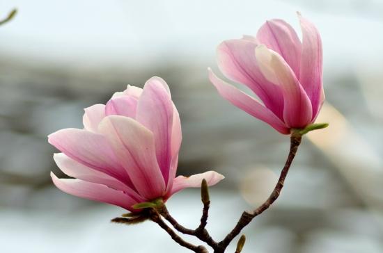 阳光下妖艳的玉兰花
