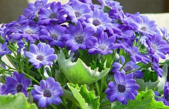 瓜叶菊花期:自然花期1-4月份,观赏期可达3个月