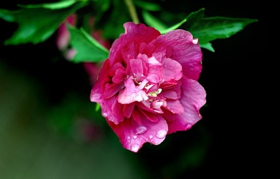盛开的芙蓉花