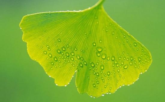 银杏叶的功效与作用:不可长期服用