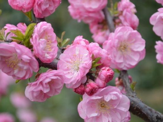 漂亮的榆叶梅