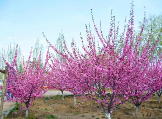 榆叶梅花语:春光明媚,花团锦簇和欣欣向荣