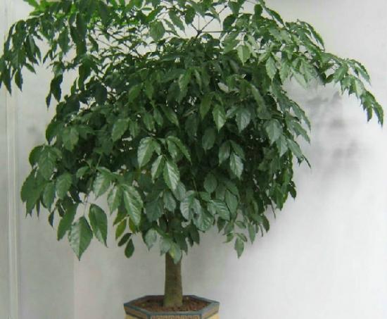 长势良好的富贵树