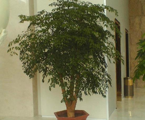 室内养殖的富贵树