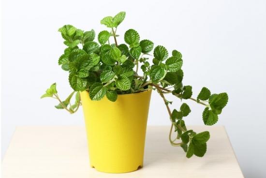 吸毒草的作用:不止可净化空气