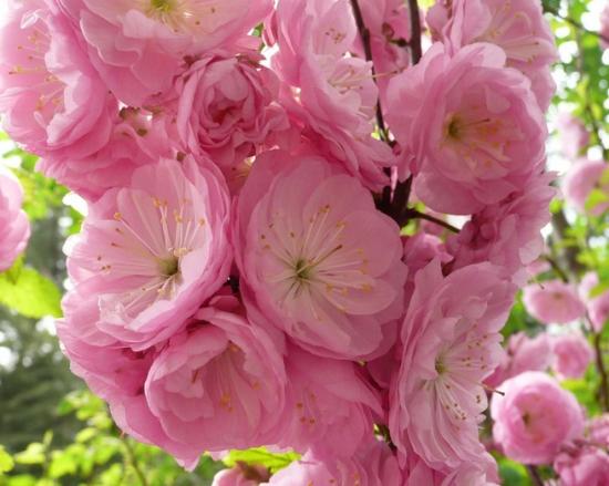 榆叶梅花期:花期为3-4月,可观赏期为10天左右