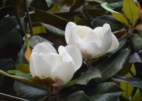 白玉兰花期:白玉兰花期一般在3~5月份