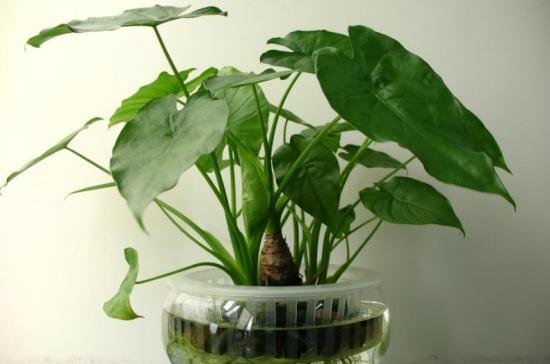 家养常见植物死亡原因分析和解救方法