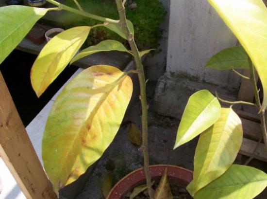 白兰花叶子发黄的原因分析和处理方法--超详尽