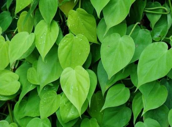心叶蔓绿绒的养殖方法:喜温暖半阳环境