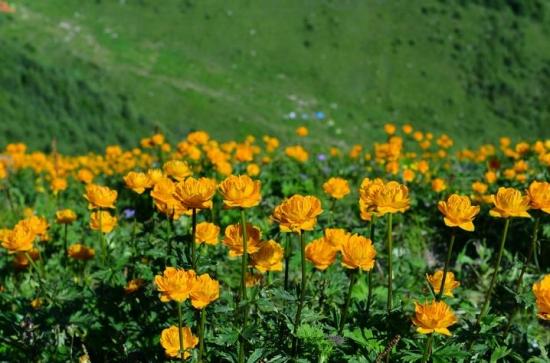 金莲花的功效与作:清热解毒、美容养颜