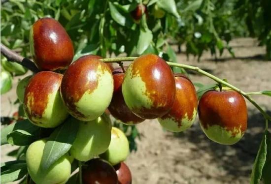 盆栽枣树的养殖方法:特别注意防治