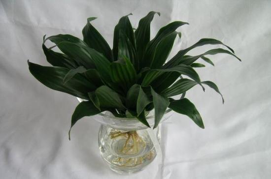 水培植物有哪些:由人工驯化能在水中长期生长的植物