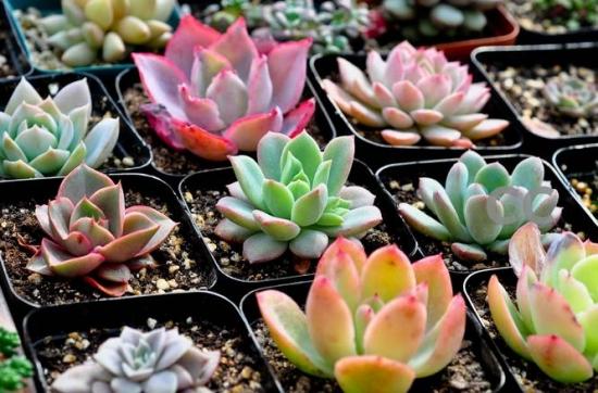 多肉植物有哪些:营养器官肥大的高等植物