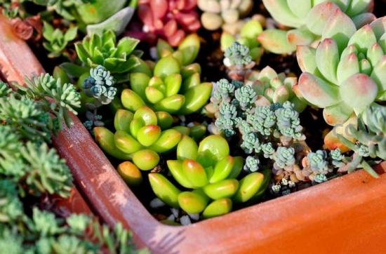 多肉植物怎么繁殖:播种、扦插、嫁接、分株