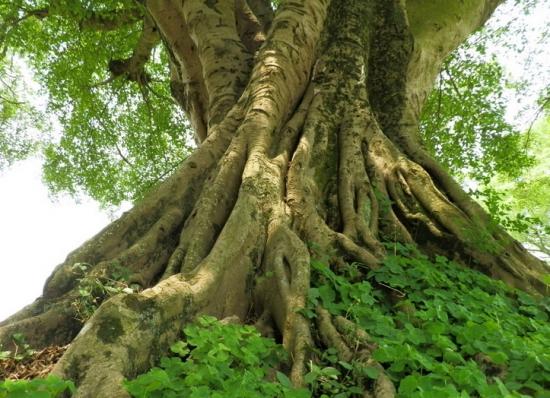 沧桑的大榕树