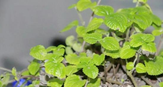 吸毒草叶子变黑:吸毒草叶子变黑原因分析及解决办法