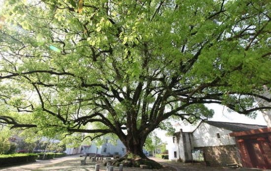 沧桑的香樟树