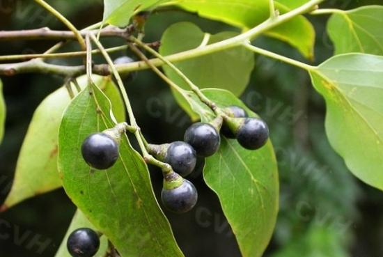 香樟树果实