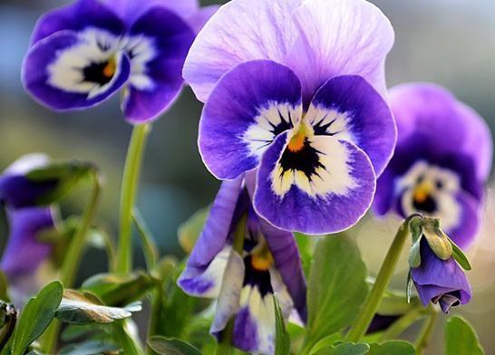 紫罗兰水培