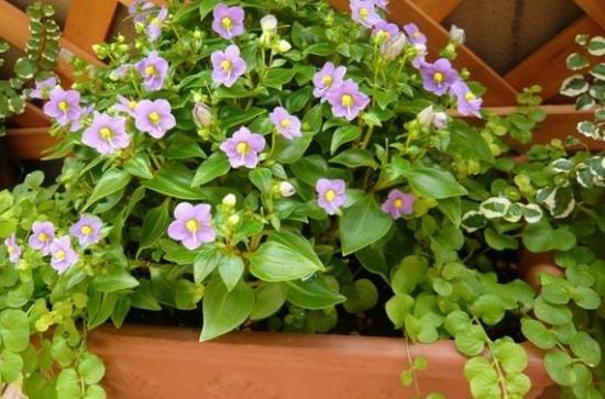 紫芳草的养殖方法:需要保持土壤湿度和充足阳光