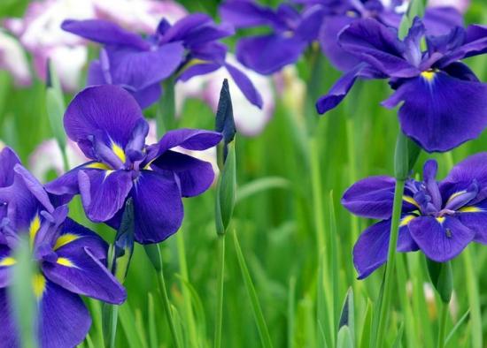 兰花品种大全(附图):兰花品种介绍及图片鉴