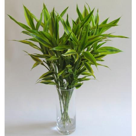 富贵竹叶子发黄处理方法