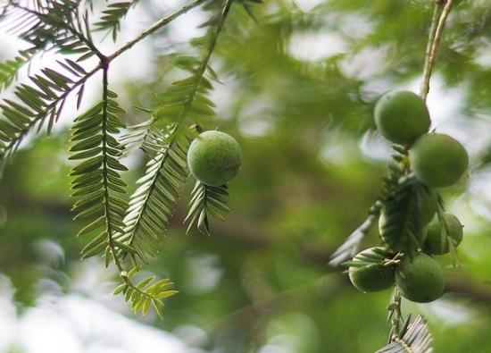 種類 裸子 植物