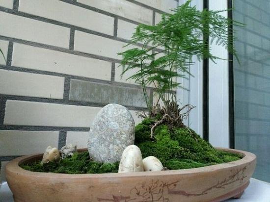 自然式——文竹盆景