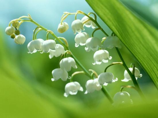 风铃草的传说:仙踪林的守护者―风铃草