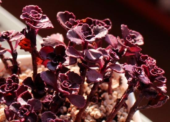 如何养殖小球玫瑰:春秋冬三季浇水可不干不浇