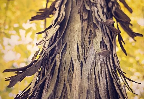 没有树会怎样_树为什么不能没皮:树皮被剥掉后没有了养料供应,就会被活活饿死