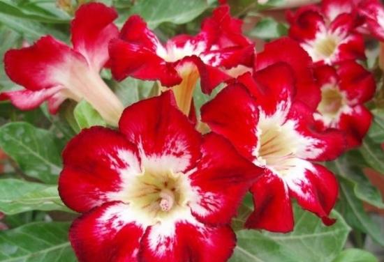 鲜红的沙漠玫瑰