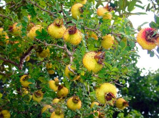果实累累事物刺梨树