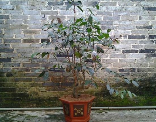 金花茶盆栽