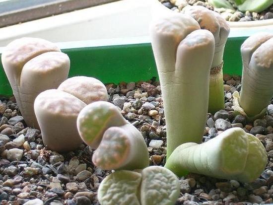 土壤太肥而徒长的石生花
