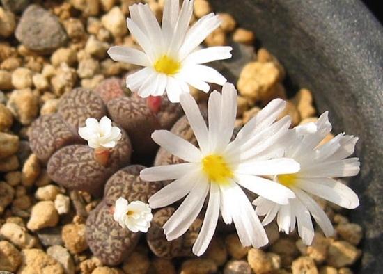 夏季怎样给生石花浇水:入夏温度超过35°C时停止