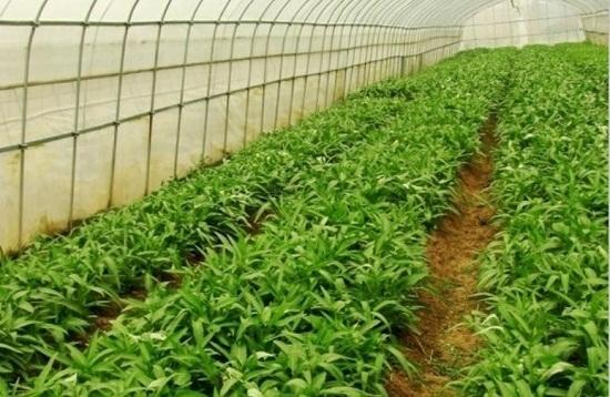 旱蕹菜种植大棚