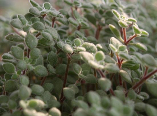 怎样养殖波尼亚:喜阳、凉爽、干燥的环境