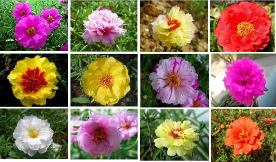 颜色、形态各异的重瓣死不了花