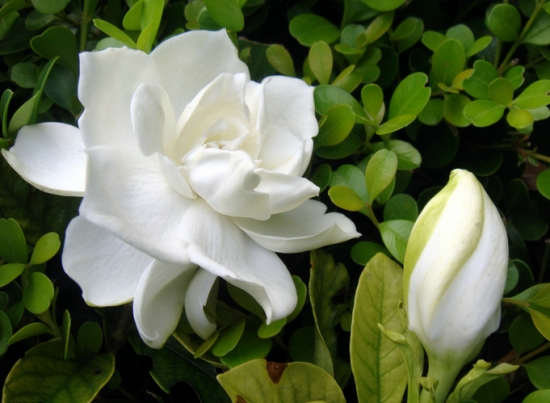 洁白的栀子花