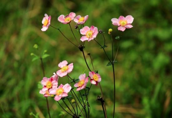 什么是野棉花:是毛茛科银莲花属的植物