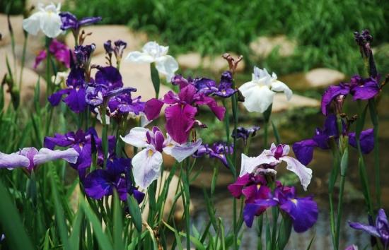 花菖蒲的栽培方法:可种植在水中,也可以种植高出水面的旱土里面