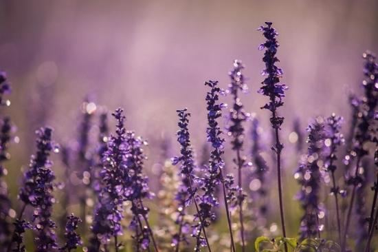 蓝花鼠尾草怎样养殖:喜温暖湿润和阳光充足的环境,耐寒